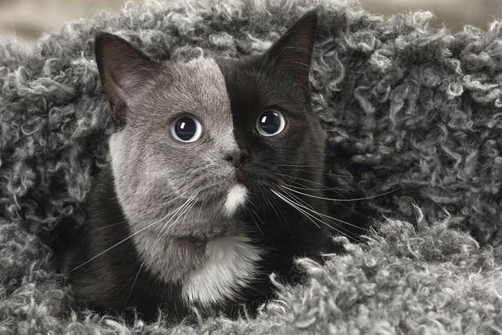 Chùm ảnh về chú mèo hai mặt đáng yêu nhất thế giới-6