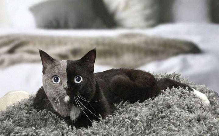 Chùm ảnh về chú mèo hai mặt đáng yêu nhất thế giới-7