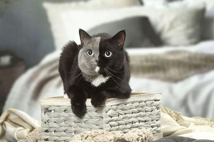 Chùm ảnh về chú mèo hai mặt đáng yêu nhất thế giới-8