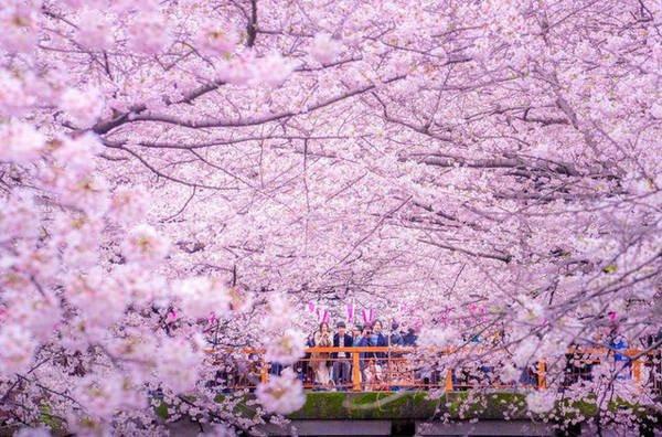 Nhật Bản sẽ đón mùa hoa anh đào sớm hơn năm ngoái-1