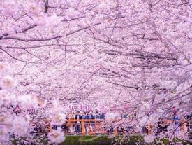 Nhật Bản sẽ đón mùa hoa anh đào sớm hơn năm ngoái