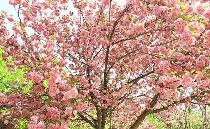 9 lễ hội hoa mùa xuân không thể bỏ qua ở Hàn Quốc-3