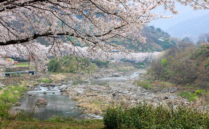 9 lễ hội hoa mùa xuân không thể bỏ qua ở Hàn Quốc-4
