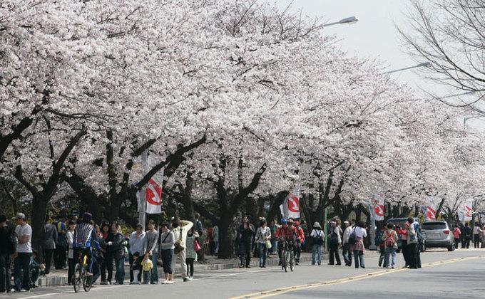 9 lễ hội hoa mùa xuân không thể bỏ qua ở Hàn Quốc-5