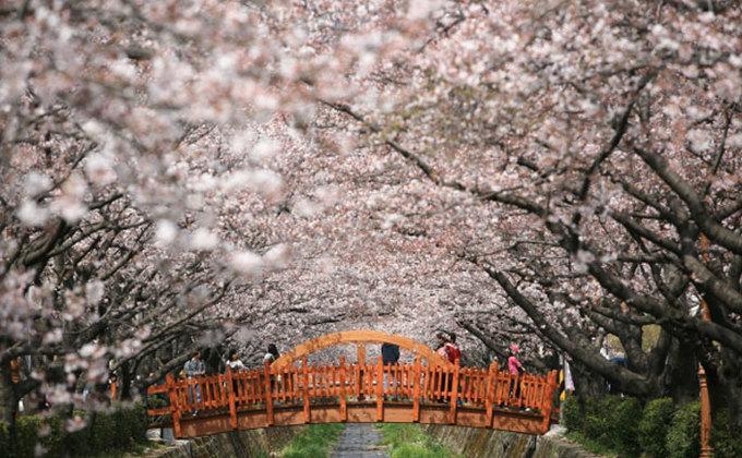 9 lễ hội hoa mùa xuân không thể bỏ qua ở Hàn Quốc-6