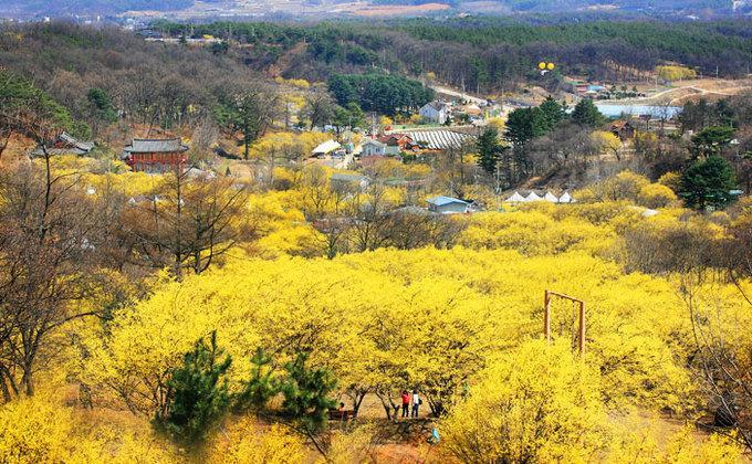 9 lễ hội hoa mùa xuân không thể bỏ qua ở Hàn Quốc-7