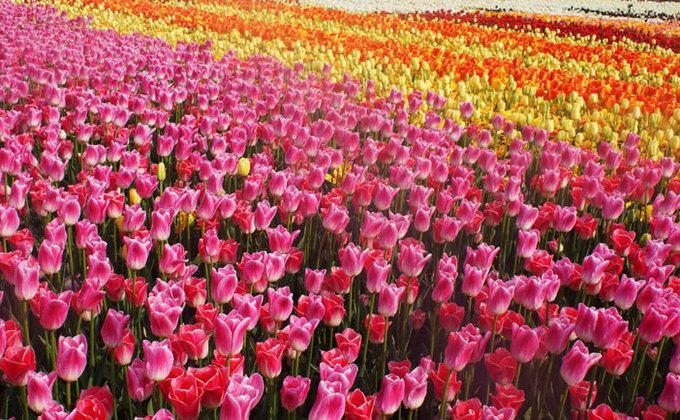 9 lễ hội hoa mùa xuân không thể bỏ qua ở Hàn Quốc-9
