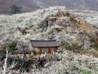 9 lễ hội hoa mùa xuân không thể bỏ qua ở Hàn Quốc