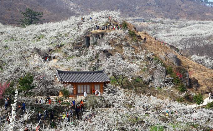 9 lễ hội hoa mùa xuân không thể bỏ qua ở Hàn Quốc-1