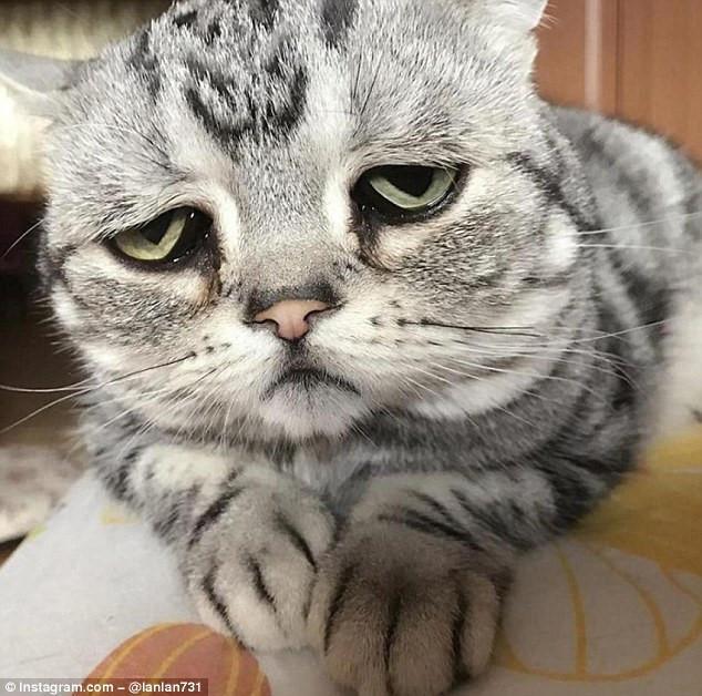 Chú mèo nổi tiếng nhờ vẻ mặt sầu đời nhất thế gian-1