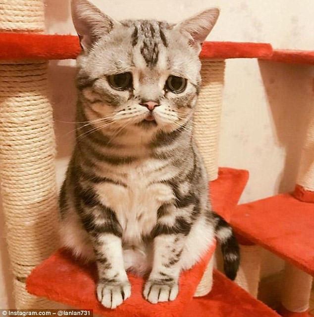 Chú mèo nổi tiếng nhờ vẻ mặt sầu đời nhất thế gian-2