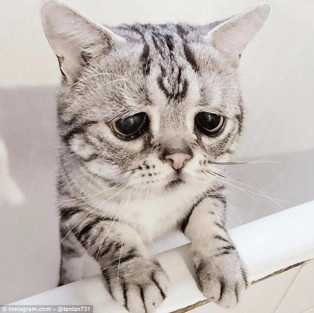 Chú mèo nổi tiếng nhờ vẻ mặt sầu đời nhất thế gian-3