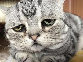 Chú mèo nổi tiếng nhờ vẻ mặt 'sầu đời nhất thế gian'
