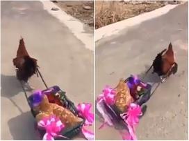 Chết cười với màn rước dâu bằng xe kéo của gà trống