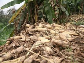 Người dân ngậm ngùi vứt bỏ cả ruộng củ cải vì to quá bán không ai mua