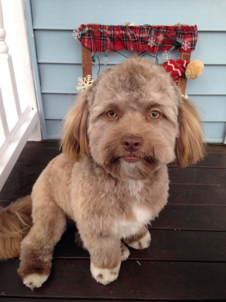 CHUYỆN LẠ: Chú chó gây sốt vì khuôn mặt giống nhiều sao nam Hollywood-1