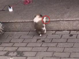 Chú chó chân ngắn đáng yêu vất vả leo bậc thềm