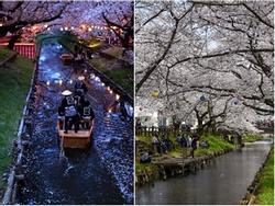 Những điểm ngắm hoa anh đào ban đêm đẹp nhất Nhật Bản