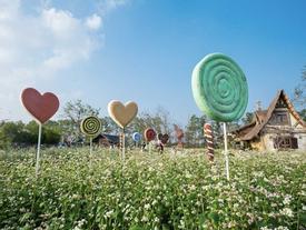 Hoa tam giác mạch nở rộ giữa trung tâm Hà Nội