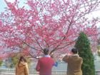 Clip: Ngắm 'hoa anh đào phiên bản Việt' bung nở khắp phố Sài Gòn