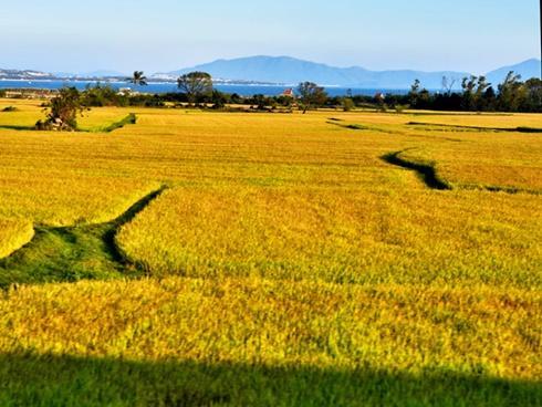 Dọc miền Trung ngắm 'biển lúa vàng'