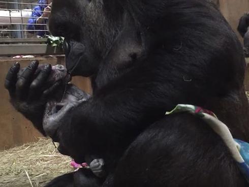 Clip khỉ đột mẹ liên tục hôn con đầu lòng mới sinh khiến dân mạng xúc động
