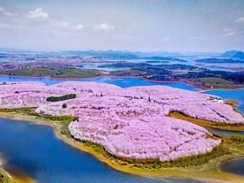 Hòn đảo hoa anh đào 'đẹp rụng rời' ở Trung Quốc