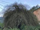 Quá hiếm: Bụi hoa tre to như chuồng nhốt trâu bò ở Quảng Ngãi