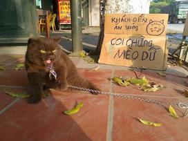 Chú mèo Đầu Đất ở Hải Phòng hút fan nhờ vẻ ngoài đanh đá, khó gần