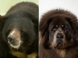 CHUYỆN THẬT NHƯ ĐÙA: Mua chó Tàu về nuôi, 'tá hỏa' phát hiện chó cưng là gấu hiếm