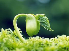 Tinh chất mầm đậu nành: Ngăn ung thư hay gây ung thư?