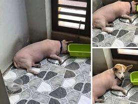 Chú thú cưng hot nhất mạng xã hội ngày hôm nay: đầu chó mình lợn khiến người xem bật cười