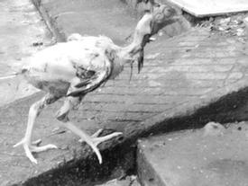 Bi hài con dâu 'vụng' vặt lông xong, gà vẫn vùng chạy khiến dân mạng cười đau ruột