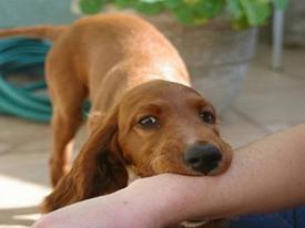 Bé trai 10 tuổi bị chó cắn nát tay khi đang cho chó nhà ăn