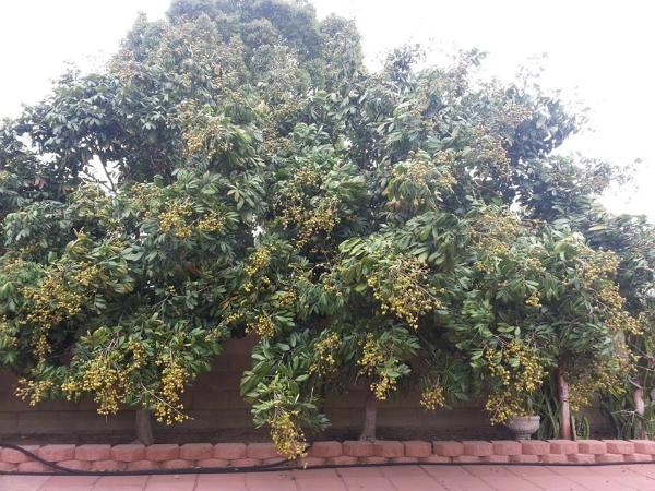 Khu vườn ngập cây trái Việt như nông dân thứ thiệt của Quang Lê ở Mỹ-8