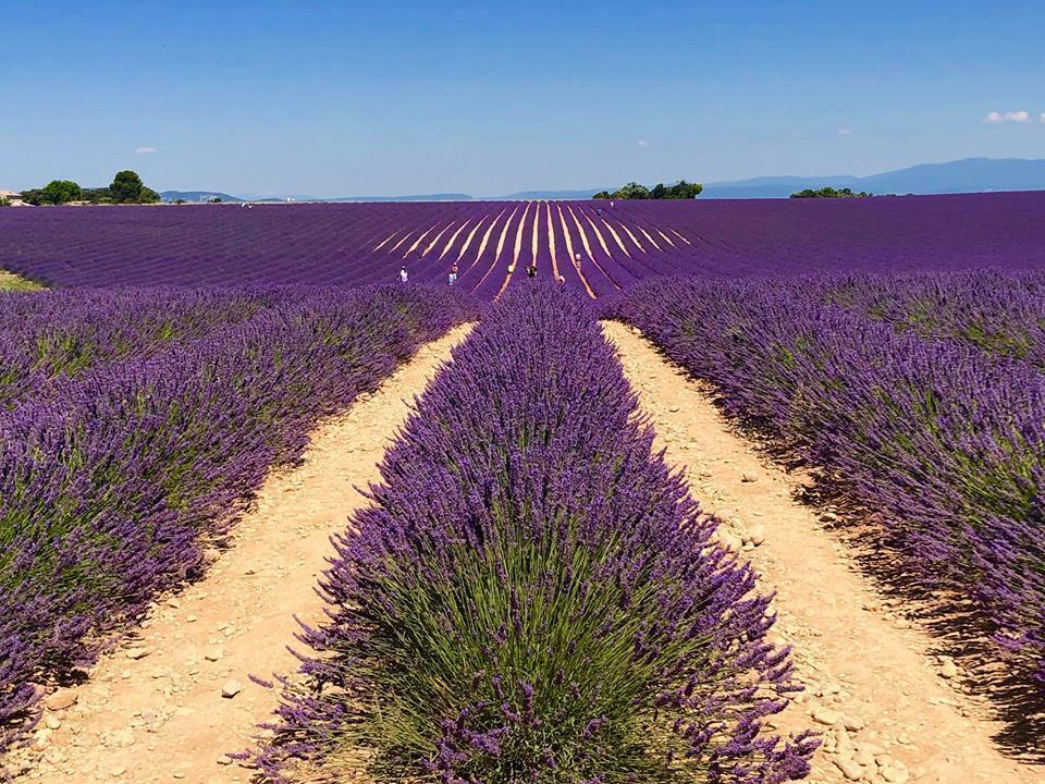 Lịm tim trước cánh đồng hoa oải hương đẹp không góc chết ở Pháp-1