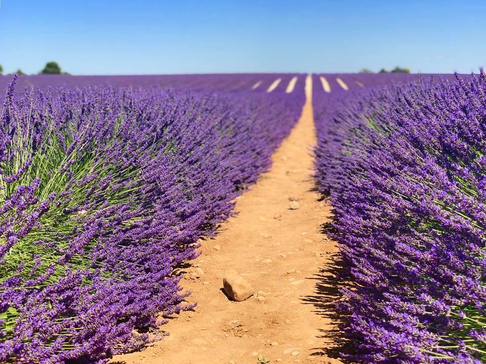 Lịm tim trước cánh đồng hoa oải hương đẹp không góc chết ở Pháp-2