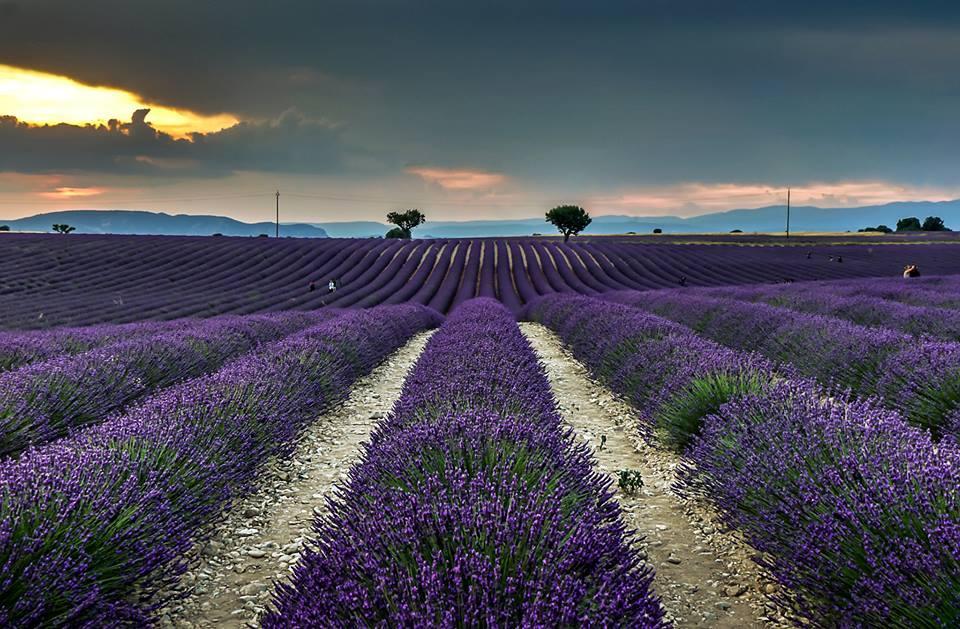 Lịm tim trước cánh đồng hoa oải hương đẹp không góc chết ở Pháp-6
