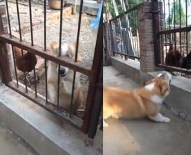 Clip chứng minh chó cậy gần nhà là có thật