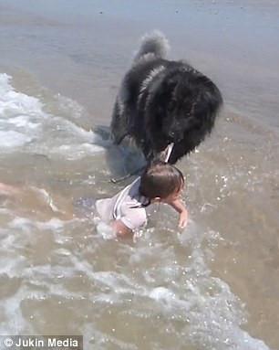 Lo chủ tắm biển nguy hiểm, chú chó kiên quyết kéo xềnh xệch lên bờ-1