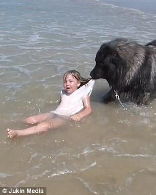 Lo chủ tắm biển nguy hiểm, chú chó kiên quyết kéo xềnh xệch lên bờ-2