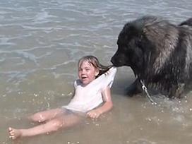 Lo chủ tắm biển nguy hiểm, chú chó kiên quyết 'kéo xềnh xệch' lên bờ