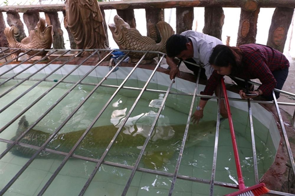 Đại gia Việt săn thủy quái lớn nhất thế giới về thả ao chơi vui-1