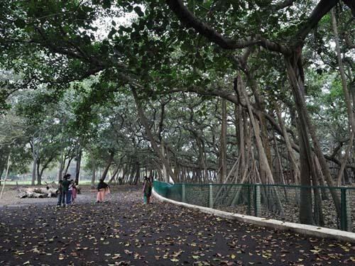 Cận cảnh cây đa khổng lồ nhất thế giới: Tán cây bao phủ hơn 14 nghìn mét vuông-2