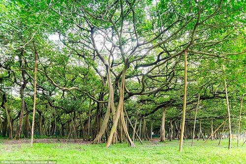 Cận cảnh cây đa khổng lồ nhất thế giới: Tán cây bao phủ hơn 14 nghìn mét vuông-3
