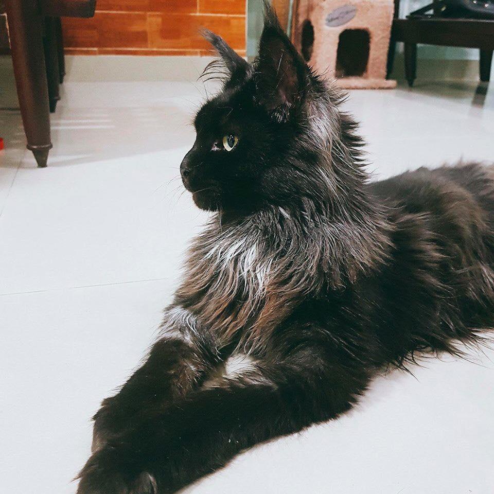 Sau khi cạo trụi lông mèo cưng 3.000 USD, Hari Won quay clip khoe nó ok lắm dù Trấn Thành uất ức khóc không ra tiếng-1
