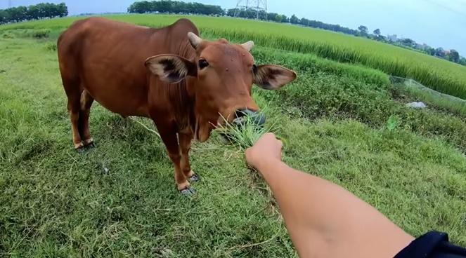 CLIP HOT: Chăn bò theo phong cách quý sờ tộc gây bão mạng với hơn 2 triệu lượt xem-1