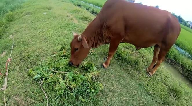 CLIP HOT: Chăn bò theo phong cách quý sờ tộc gây bão mạng với hơn 2 triệu lượt xem-2