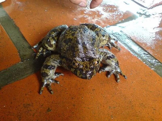 Cơn sốt thần dược ếch đại gia, đặc sản tiến Vua xưa ở Việt Nam-1