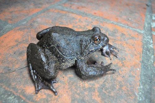 Cơn sốt thần dược ếch đại gia, đặc sản tiến Vua xưa ở Việt Nam-3